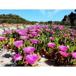 Essbare Mittagsblume Samen (Carpobrotus edulis) 3 - 3