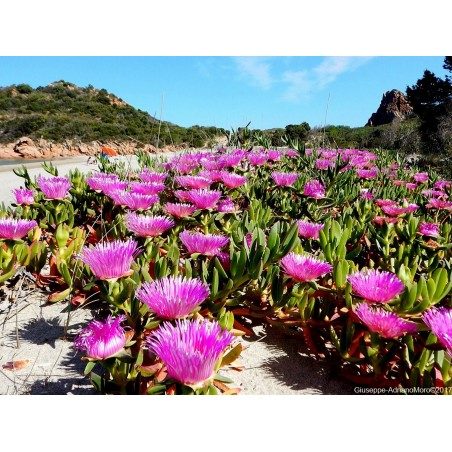 Hottentot-Fig, Ice Plant, Highway Ice Plant Seeds 3 - 3