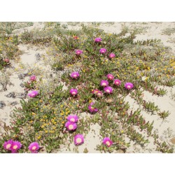 Hottentot-Fig, Ice Plant, Highway Ice Plant Seeds 3 - 4