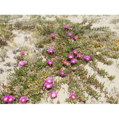 Essbare Mittagsblume Samen (Carpobrotus edulis) 3 - 4