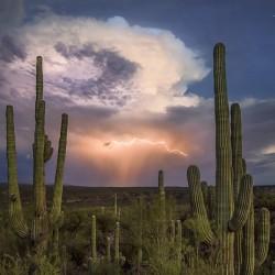 Semillas de Cactus Saguaro o Sahuario (Carnegiea gigantea) 1.8 - 2