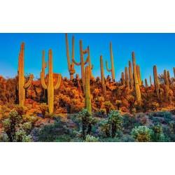 Semillas de Cactus Saguaro o Sahuario (Carnegiea gigantea) 1.8 - 5