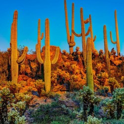 Saguaro Kaktus Seme (Carnegiea gigantea) 1.8 - 1