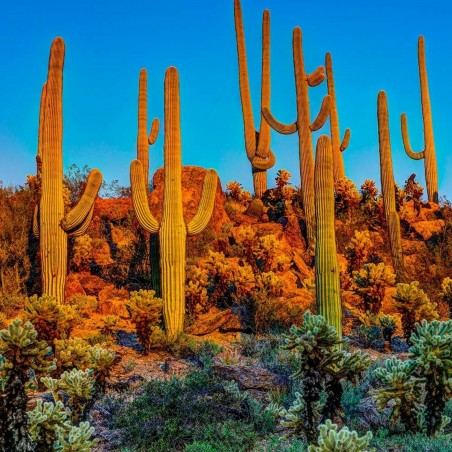 Saguaro Cactus Seeds (Carnegiea gigantea) 1.8 - 1