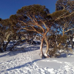 Schnee-Eukalyptus - Winterhart -23 °C 2.05 - 1