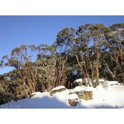 Snezni Eukaliptus Seme - Otporan Na Mraz - 23 °C 2.05 - 9