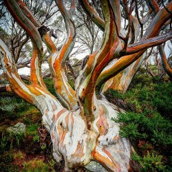 Schnee-Eukalyptus - Winterhart -23 °C 2.05 - 2
