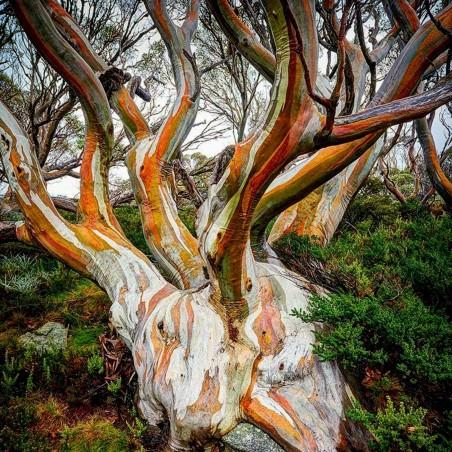 Snezni Eukaliptus Seme - Otporan Na Mraz - 23 °C 2.05 - 2