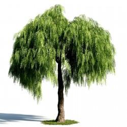Peruanische Pfefferbaum (Schinus molle) 1.85 - 2