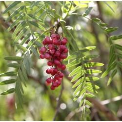 Peruanische Pfefferbaum (Schinus molle) 1.85 - 3