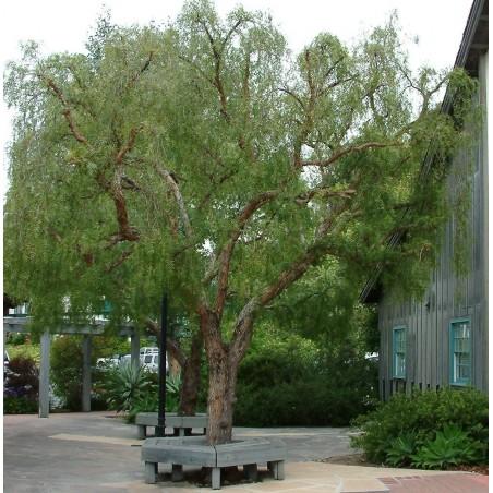 Σπόροι Περουβιανό πιπερόδενδρο (Schinus molle) 1.85 - 4