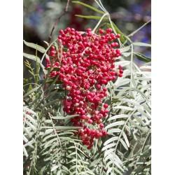 Σπόροι Περουβιανό πιπερόδενδρο (Schinus molle) 1.85 - 5