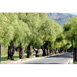 Σπόροι Περουβιανό πιπερόδενδρο (Schinus molle) 1.85 - 6