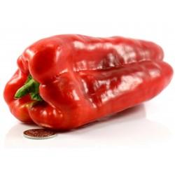 Largo de Reus sweet bell pepper seeds 1.8 - 3