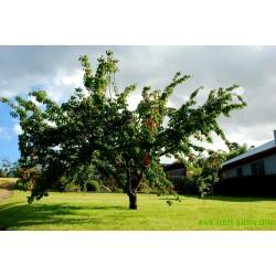 Manchurian Aprikos Frön (Prunus armeniaca)