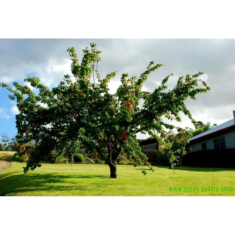 Semi di Valeriana officinalis - pianta medicinale