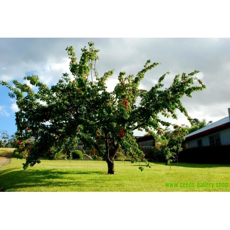Semi di L'albicocco MANCHURIAN APRICOT (Prunus armeniaca L.)