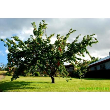 Σπόροι Manchurian Βερίκοκο Prunus armeniaca