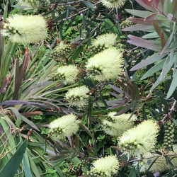 Lemon Bottlebrush Seeds (Melaleuca pallida) 2.5 - 6