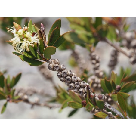 Lemon Bottlebrush Seeds (Melaleuca pallida) 2.5 - 8
