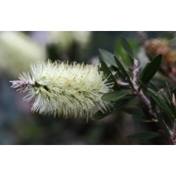 Lemon Bottlebrush Seeds (Melaleuca pallida) 2.5 - 9