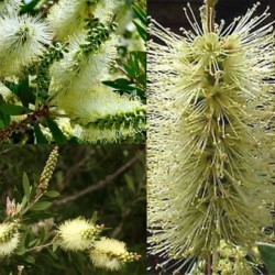 Lemon Bottlebrush Seeds (Melaleuca pallida) 2.5 - 10