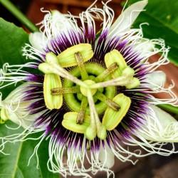 Σπόροι Λουλούδι Πάθος Passiflora Κίτρινο (Passiflora flavicarpa) 1.95 - 2
