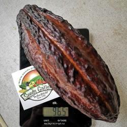 Kakaobaum Samen (Theobroma cacao) 4 - 2