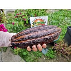 Semillas El árbol de cacao (Theobroma cacao) 4 - 6