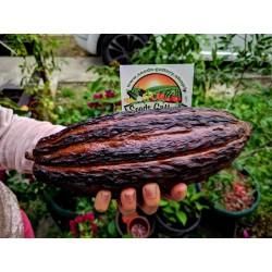 Semillas El árbol de cacao (Theobroma cacao) 4 - 4
