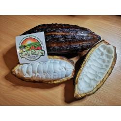 Graines de Cacaoyer - Cacao (Theobroma cacao) 4 - 3