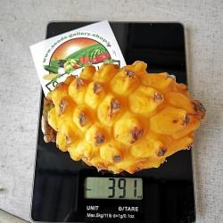 Sementes de Fruta do dragão amarelo 2.5 - 2