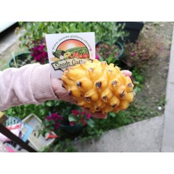 Σπόροι Δράκος Φρούτα Κίτρινο 2.5 - 4