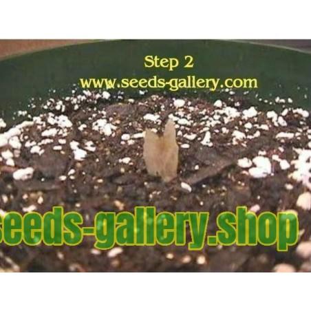 Blue passion flower seed (Passiflora caerulea)