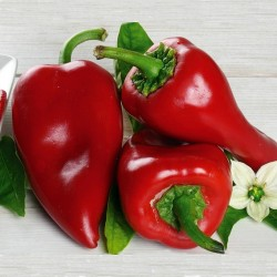 Piquillo pepper seeds 1.65 - 1