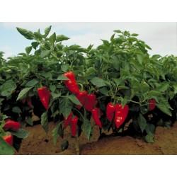 Piquillo Paprika Samen 1.65 - 3