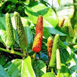Σπόροι μακρύ πιπέρι (Piper longum) 2.55 - 4