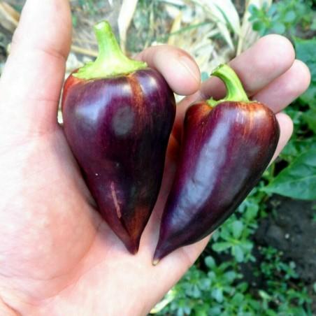 Graines de poivron doux Violet Sparkle