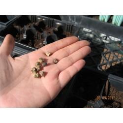 Semillas de Espinaca de Nueva Zelanda (Tetragonia tetragonioides) 1.85 - 6