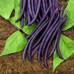 Amethyst Dwarf Bean Seeds 1.75 - 3