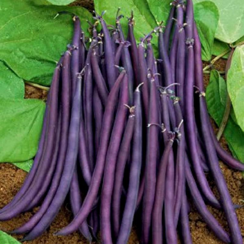 Amethyst Dwarf Bean Seeds 1.75 - 1