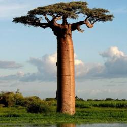 Semi di baobab africano (Adansonia digitata) 1.85 - 2