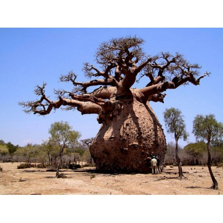 Baobab Seeds (Adonsonia digitata) 1.85 - 4