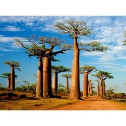 Sementes De Baobá (Baobab) (Adonsonia digitata) 1.85 - 3