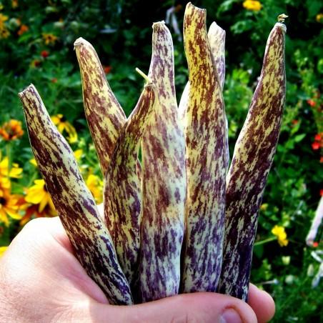 Graines de Haricot Merveille de Piemonte 2.5 - 2