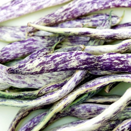 Stangenbohne - Buschbohne Samen Merveille de Piemonte 2.5 - 3