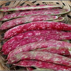 Buenos Aires Rote Bohnen Samen 1.95 - 1