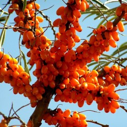 Sea Buckthorn Seeds (hippophae rhamnoides) 1.85 - 2