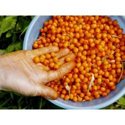 Graines Argousier (Hippophae rhamnoides) 1.85 - 3