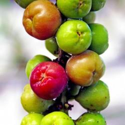 Havsdruva Frön (Coccoloba uvifera) 2.5 - 2